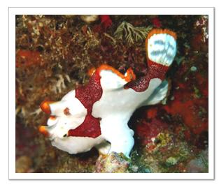白と赤のウミウシ